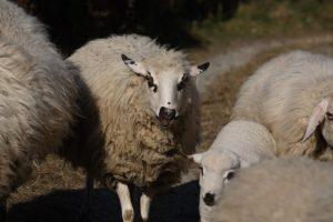 pecore rosset